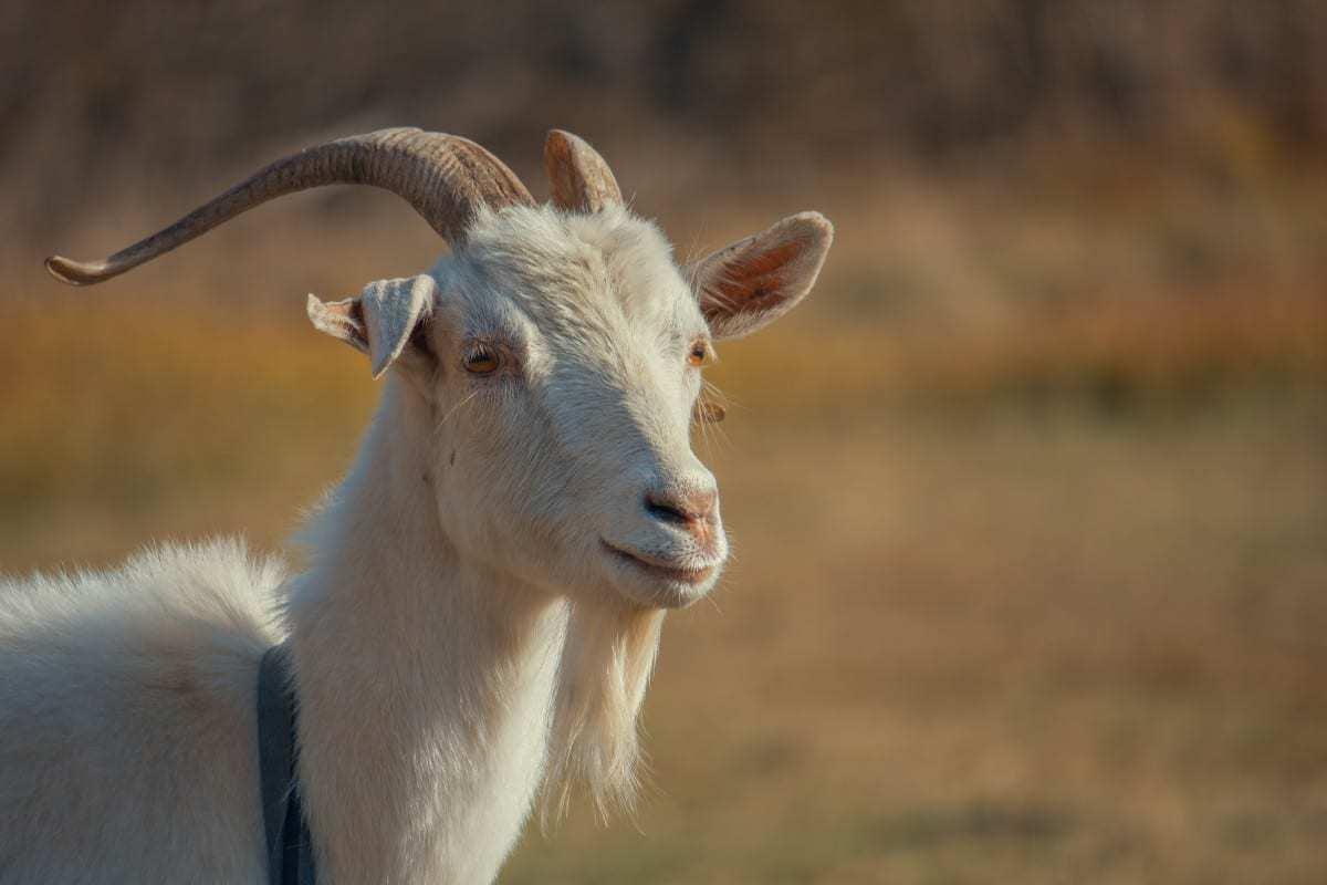 goat kid animal grass dry autumn goats horn fauna cow goat family wildlife goat antelope snout mountain goat feral goat sheep livestock pasture terrestrial animal