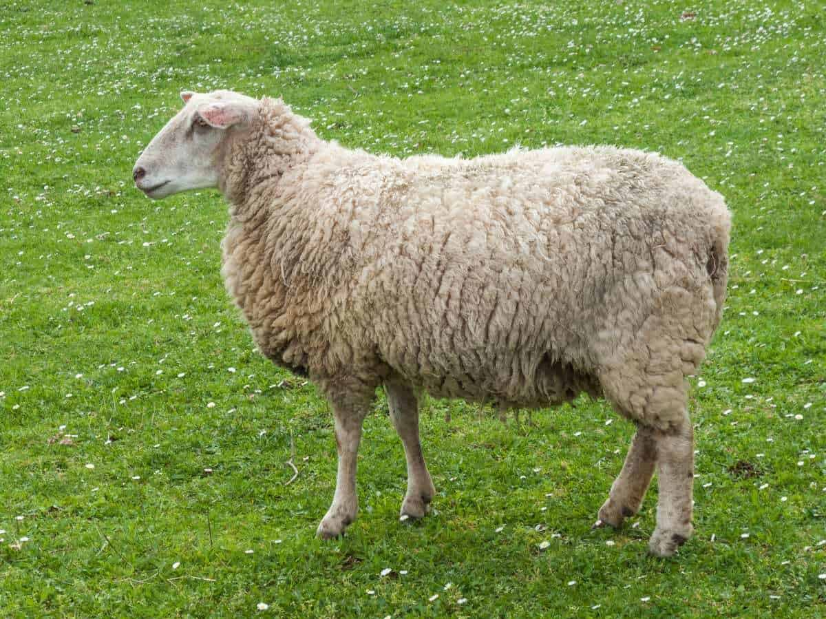 animals sheep pasture cow goat family grass terrestrial animal grassland lamb and mutton grazing livestock farm herding meadow snout